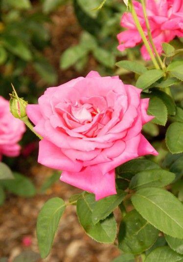 Liz Taylor rose... As dramatic as its namesake, the Liz Taylor Rose is a shocking pink hybrid tea rose with darker edges...