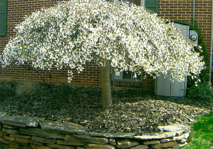 Dwarf shade evergreen trees trees for landscaping ehow for Small evergreen flowering trees
