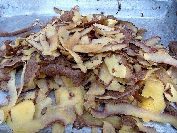 Картофельные очистки — лучшее удобрение для смородины