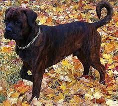 Image result for boxer rottweiler mix