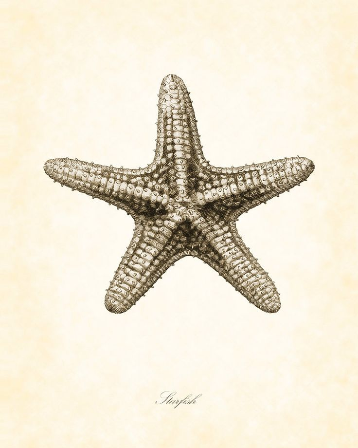 starfish illustrations | Vintage Starfish in Sepia 8 x 10 Art Print by BelleMerGraphics
