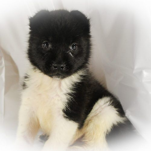 Festus Is An Elite Breeder Serving The Puppy Community From His Home In Spencerville Indiana Riverside Acres Specia Dog Breeder Dog Breeders Near Me Puppies