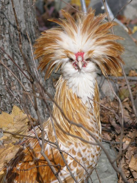 Polish Chicken with its huge bouffont crest of Feathers! - I love ours like this!  Such a personality