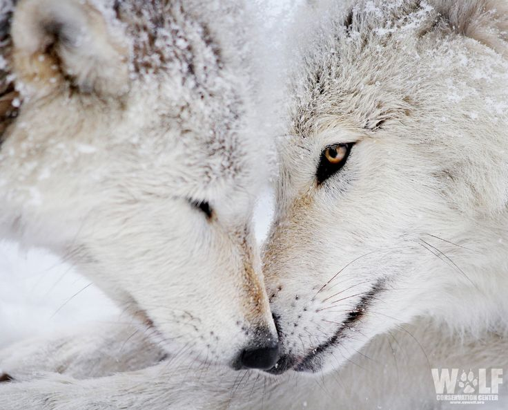Lovely wolves - SAVE THE WOLVES