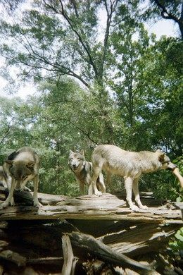 Giant 400-acre preserve in North Florida for displaced wolves.