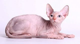 harga kucing sphinx,kucing savannah,dijual,jual kucing sphinx murah,sphynx untuk dijual,scottish fold,siam,
