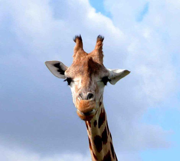 Girafsprog - ikke voldelig kommunikation #personligudvikling #kommunikation #girafsprog