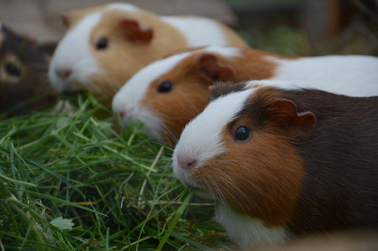 Dinner time little Guinea pigs