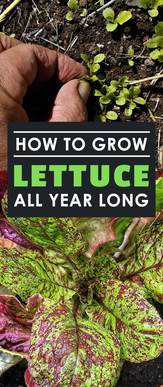 Learning the secrets of how to grow lettuce all year long will let you harvest delicious, nutritious greens every single week. Learn how in this guide.