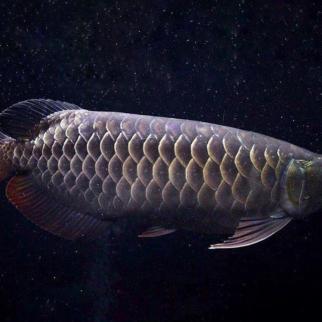 【polypterus_kmt】さんのInstagramをピンしています。 《こんばんは🤗 明日は水換えしよう😊 フィッシュレットに元金魚やら元キビナゴやらが入ってるけど、明日にしよう😊 …… フィッシュレットは今からやるか笑 #アクアリウム#aquarium#古代魚#大型魚#アジアアロワナ#アロワナ#arowana#過背金龍#マレーシアゴールデン#MalaysiaGolden #Dragonfish #クロスバック#CrossBack》