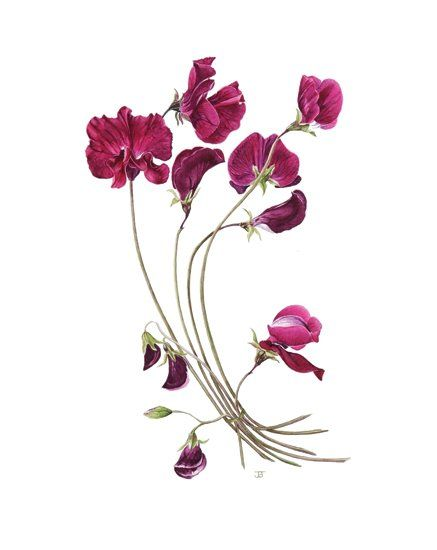 Sweet Pea by Joan Battle  Tattoo on the upper part of my arm, possibly in black or colour depending on price.