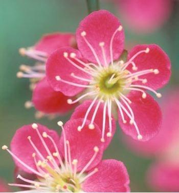 Prunus mume Beni Chidori (abricotier du japon)