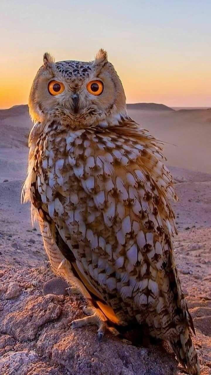 Indian Eagle Owl Nocturnal birds, Owl, Beautiful owl