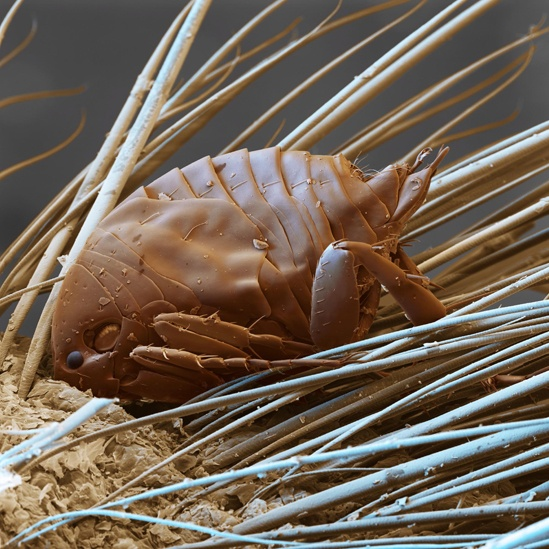 Pulga de piel de arena macho:  http://www.bbc.co.uk/mundo/noticias/2012/08/120831_galeria_insectos_vampiros_yv.shtml