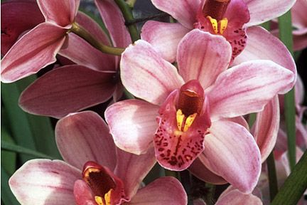 Cymbidium orchid lovely