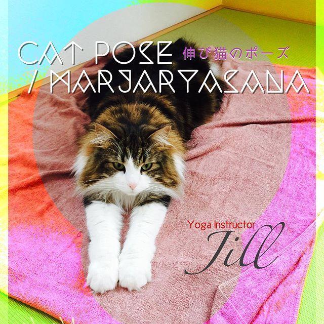 これぞ!まさに!伸び猫のポーズ✨✨✨ #cat #cats  #猫 #愛猫  #チンチラ  #チンチラゴールデン  #ノルウェージャンフォレストキャット  #癒され猫  #札幌ねこ部  #猫好き  #ねこ #ねこずきさんと繋がりたい #ヨガ #猫のポーズ  #yoga #catyoga #instayoga