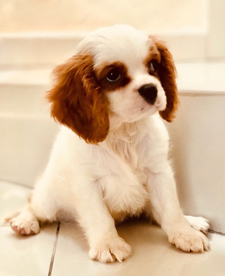Jullie my two-month old Cavalier King Spaniel