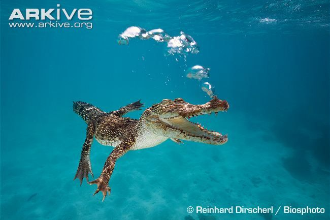 Immature saltwater crocodile swimming underwater, exhaling