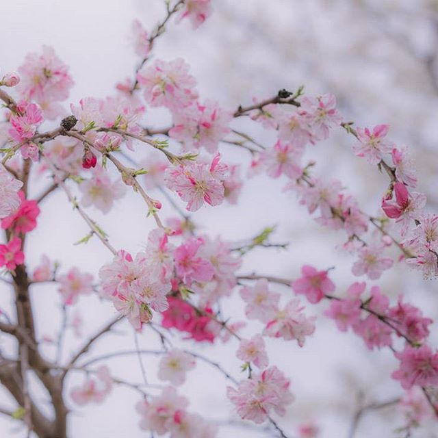 【tenpapasyasinkan】さんのInstagramをピンしています。 《イベント告知でこんばんわ☺✨✨ .  来る2月26日1時~3時 新横浜駅前サロンで 私、てんねんぱぱ☆、@sairi_table  さんでコラボレッスン、初心者さんのカメラテク×料理(カリカリフレンチトースト作り)のレッスン開催を致します。 レッスン後は@sairi_table のぷわぷわパンケーキを頂きつつのカフェタイム☕ ・ 残2名となっております✨ テーブルコーディネートレッスンはこちらはございません。 レッスン費用は五千円となります。  手ぶらで楽しくご参加くださいませ。 ・ お申し込みは@sairi_table さんへのDMにて受け付けさせて頂きます(≡^.^≡)♪ #桜 #cherryblossoms #flower #千葉県 #船橋市 #tokyocameraclub #はなまっぷ #igersjp #canonfanphoto #canonphotography #5dsr #写真撮ってる人と繋がりたい #写真好きな人と繋がりたい #ファインダー越しの私の世界…