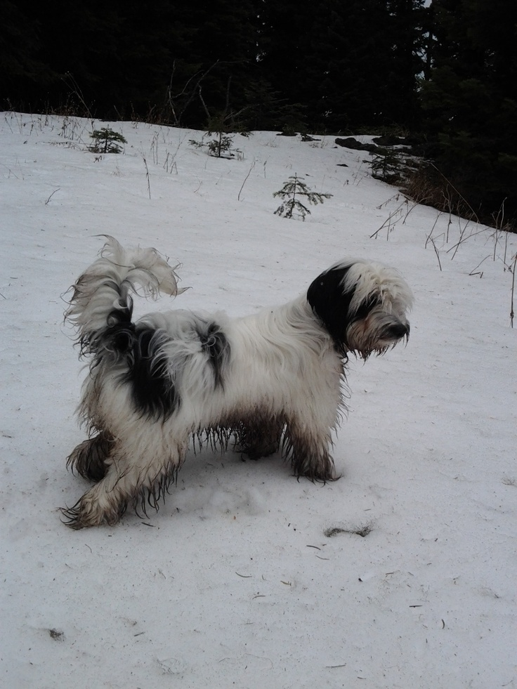 I can romp and play & then get cleaned up at RiLee - Nikkie Does A Great Job....: Tibetan Terriers