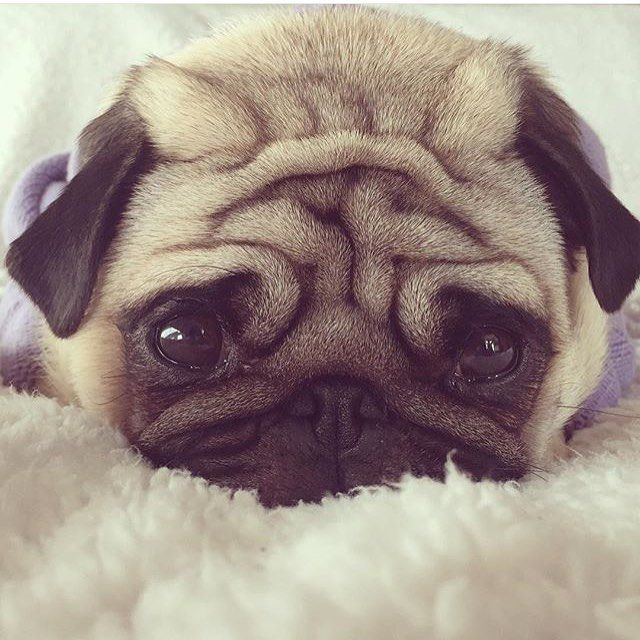 Who can say no to dis face? | photo by @mrgizmothepug by pugbasement