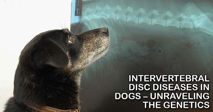 """Dr. Dickinson, a UC Davis veterinary neurologist, says that Intervertebral Disc Disease is by far the most common neurological condition that they have to deal with in the clinic. "" https://iloveveterinary.com/blog/intervertebral-disc-diseases-dogs-unraveling-genetics/"