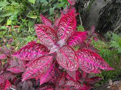 La Iresine es una planta ornamental de hoja perenne que se puede cultivar tanto en maceta como en el jardín
