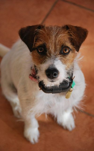 Stay Humane: Myths and Facts About Electric Dog Collars - Top Dog Tips