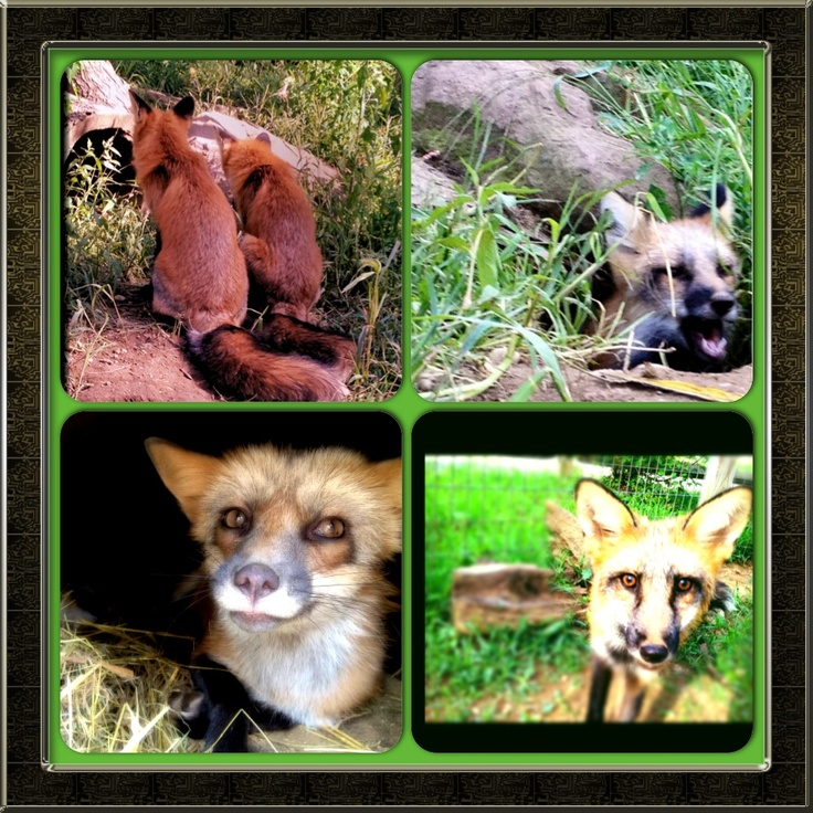 Meet our Red and Silver Fox family: Fiona, Frank, and Fritz! Fiona is 4 years old from Ohio and was from a rehabilitated litter. The two boys came from upstate New York and are almost a year old!