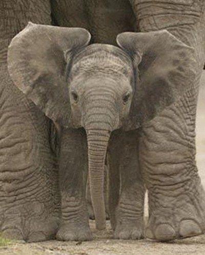 Baby Elephant with Big Ears