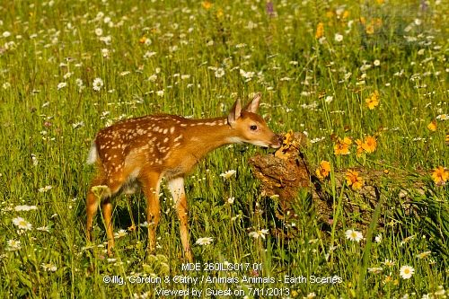 White-tailed deer fawn (Odocoileus virginianus) and flowers, Pine County, MN captive