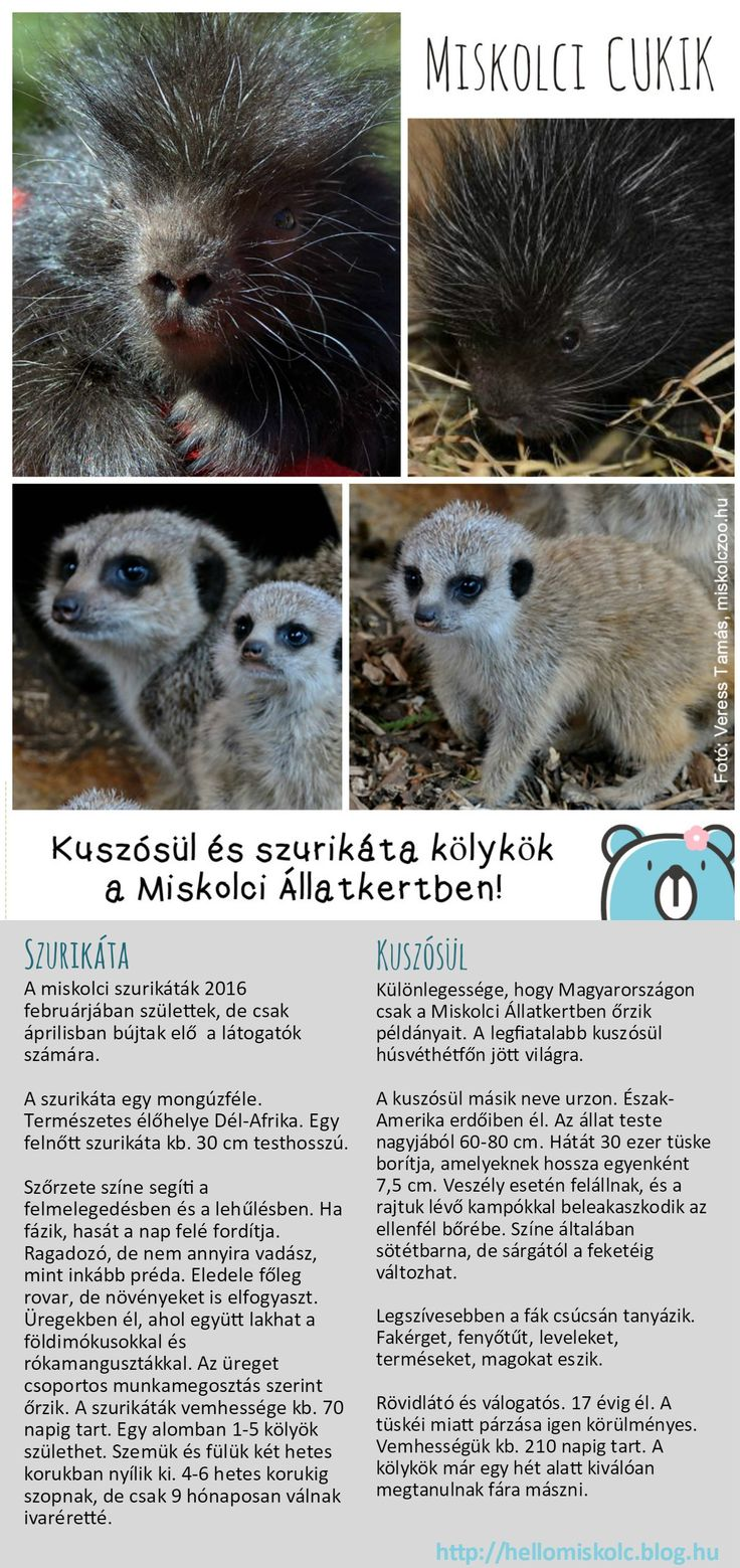 Aranyos kisállatok látogathatók a Miskolci Állatkert és Kultúrparkban!  További információ:: https://www.hellomiskolc.hu/Miskolci-Allatkert-es-Kulturpark http://www.miskolczoo.hu/  #HelloMiskolc #MiskolcZoo #szurikáta #kuszósül #cuki #cute #Miskolc