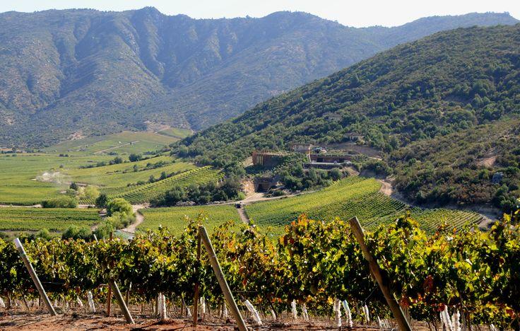 Vineyard in Maule Region, Chile.