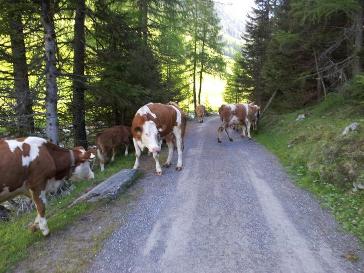 Hardlopen tussen de koeien in Niederthai