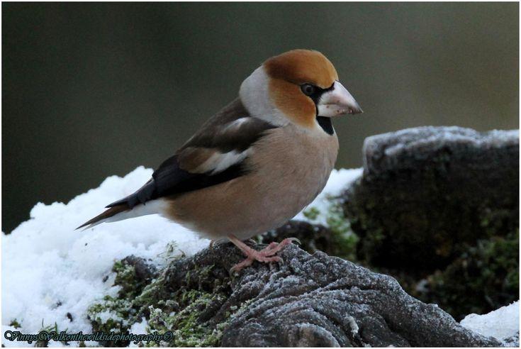 Male Hawfinch ou Grosbec