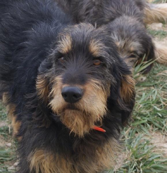 Griffon Nivernais #Puppy #Dog