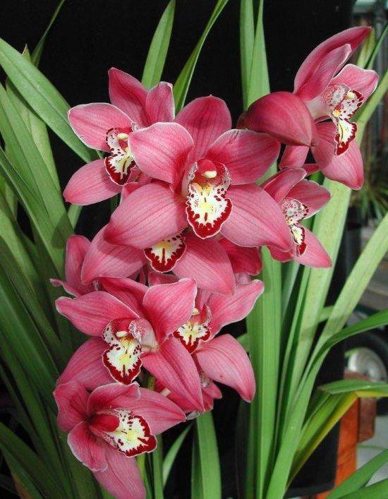 Orquídea Cymbidium Maggie May.