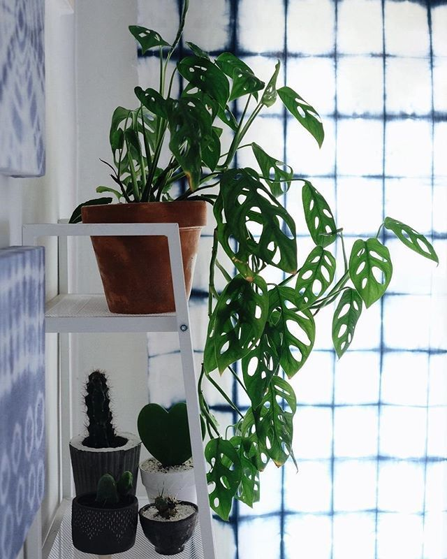 Our dream plant Monstera obliqua beautifully captured
