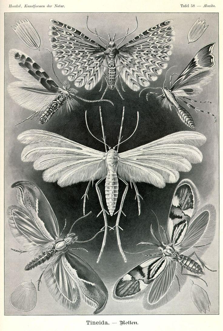 Tineida via Kunstformen der Natur (1900) by Haeckel