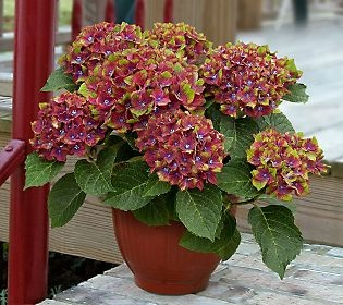 Cottage Farms Pistachio Hydrangea: Gardens Ideas, Gardens Flowers, Pistachios Hydrangeas, Hydrangeas Collection, Flowers Power, Cottages Farms, You, Colors Hydrangeas,  Flowerpot