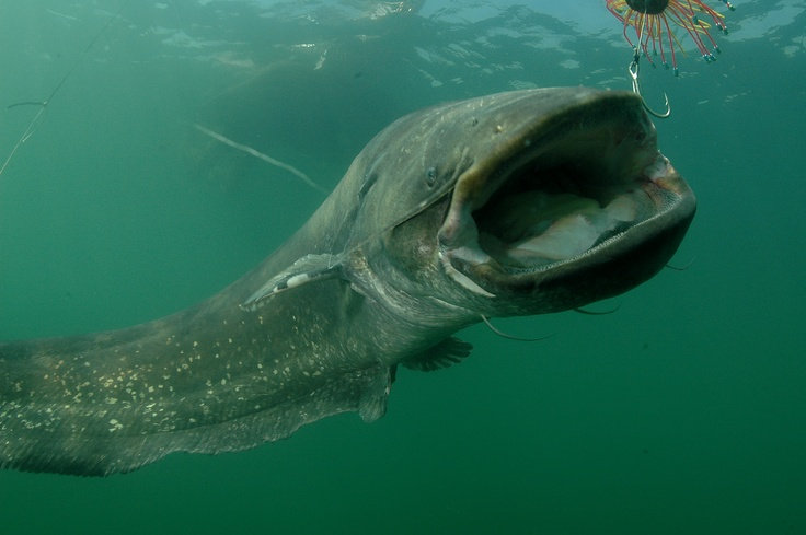 Wels catfish Recommended by  http://www.fishinglondon.co.uk/