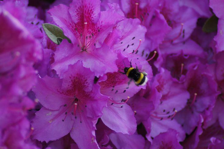 Mayıs 2015 Atatürk Arb. Açelyalar ve arı