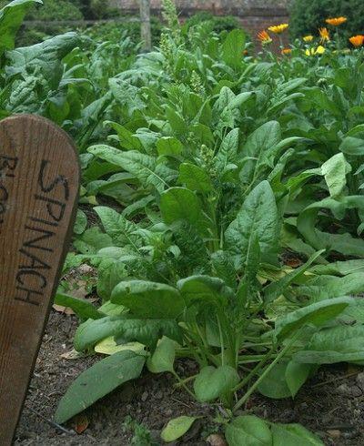 Aprende a cultivar espinaca.