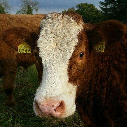 Cow stalking