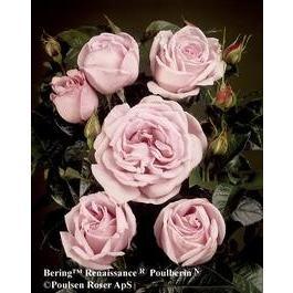 Bering Renaissance  Översikt  En Poulsenros med fin doft och spännande lila nyanser. Mår bra av kraftig beskärning. Planteras i grupper av 3-5 rosor. Tätt fyllda blommor.