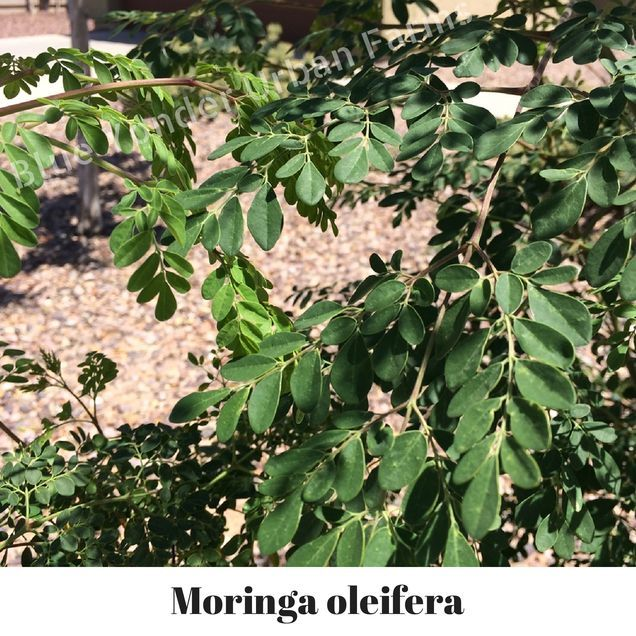 "Moringa-oleifera - What is Moringa?  Moringa has been getting a lot attention these days, probably rightly so, many are calling it a ""Super Food""...   If you do a search for Moringa, you will find that the Moringa Leaf is selling for up wards to $25.00 per pound, quite a hefty price tag for a leaf.  http://blueyonderurbanfarms.com/1586/10-moringa-oleifera-seeds/"