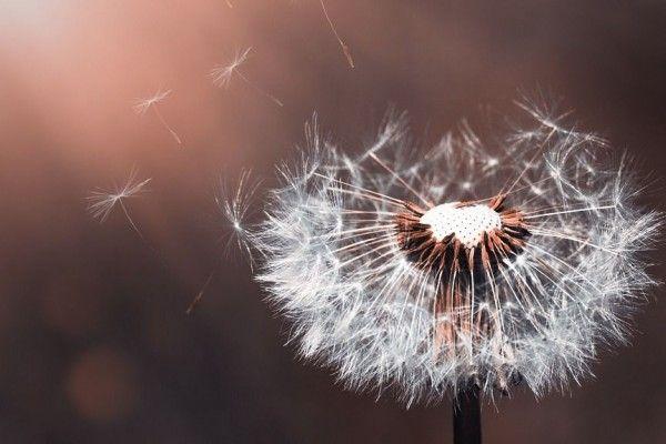 Gambar Bunga Dandelion Hd Di 2020 Fotografi Makro Dandelion Bunga