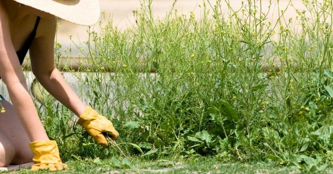 Aunque algunas hierbas son buenas como la manzanilla, otras más bien son una pesadilla porque no parece haber forma de acabar con ellas. Algunos herbicidas no son muy amigables con la naturaleza y puedes terminar haciendo más daño que bien.