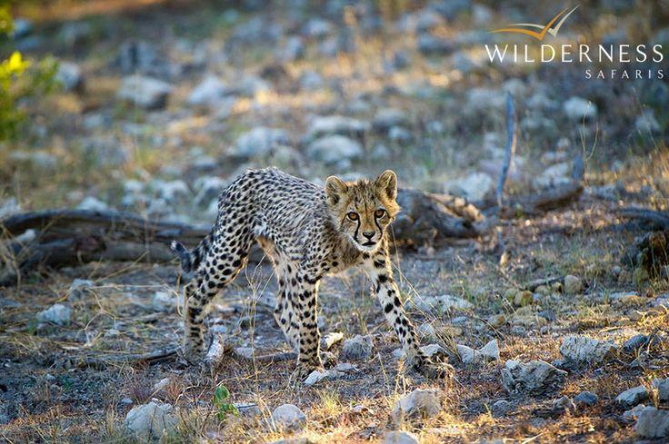 Ongava Lodge – Cheetah move through Ongava and great sightings are often enjoyed   #Africa #Safari #Namibia