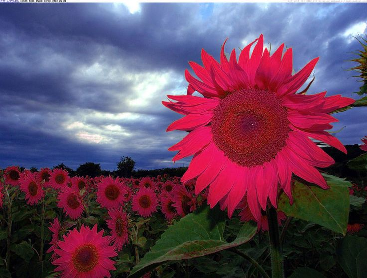 Pink sunflowers :)